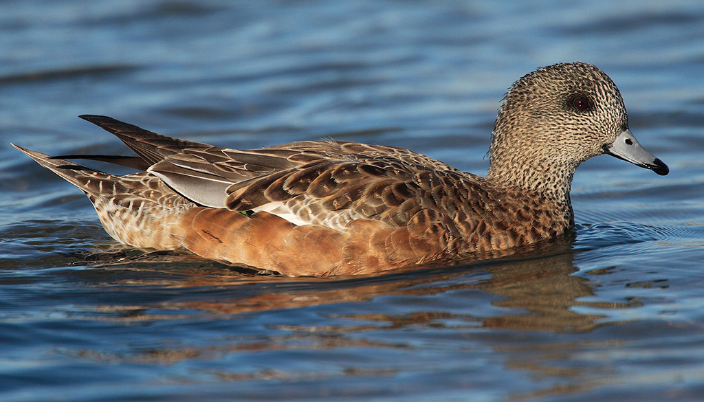 Top 10 Domestic Ducks for the backyard that also Make Good