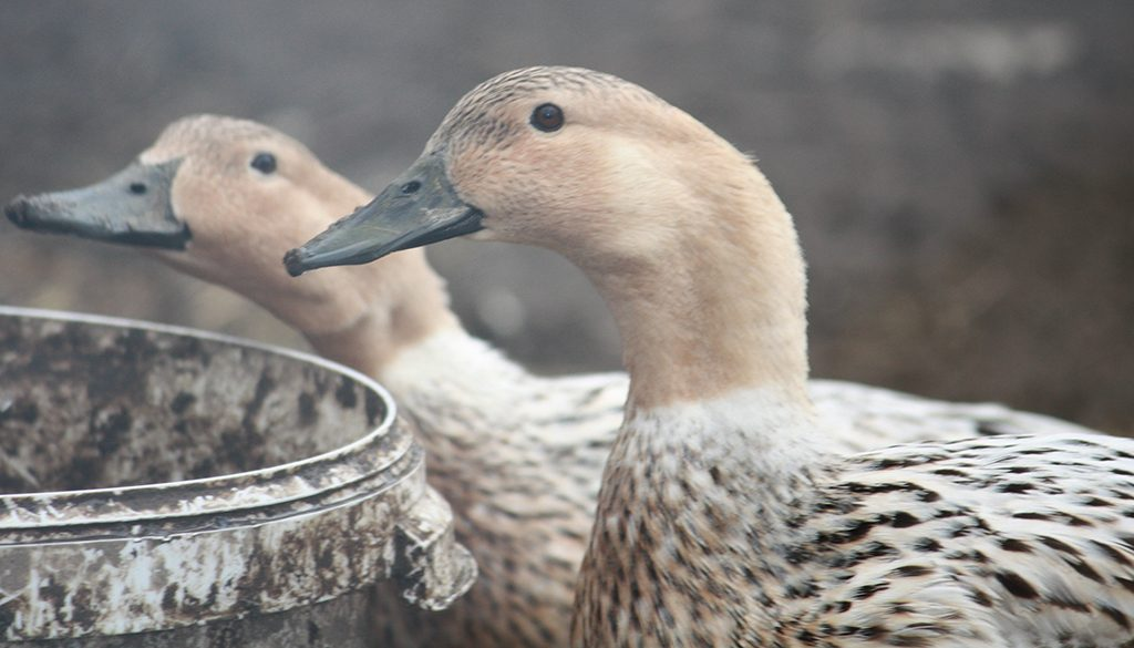 10 Breeds of Domestic Ducks that have become or are Becoming