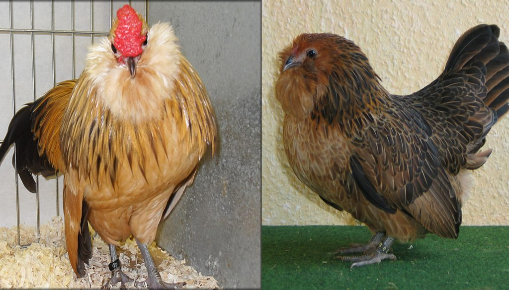 Bearded Danvers Bantam Chicken Breed Everything You Need To Know