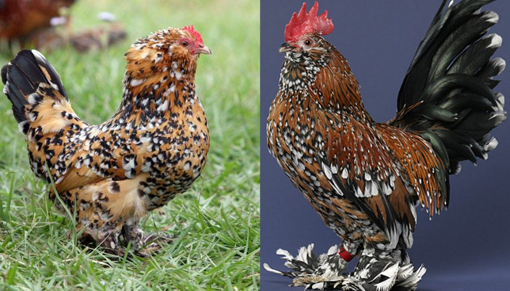 Belgian Bearded D'Uccle Chicken Breed – Everything You Need to Know