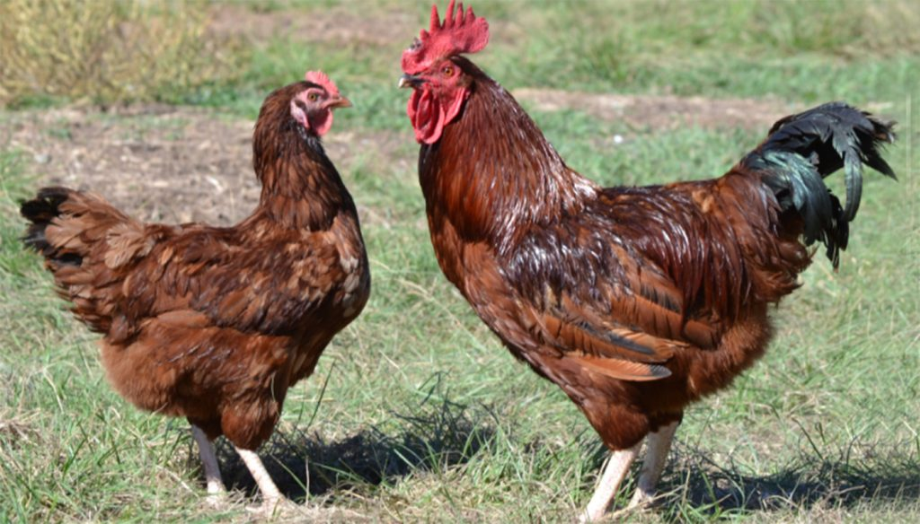 Rhode Island Red Chicken Breed Everything You Need To Know