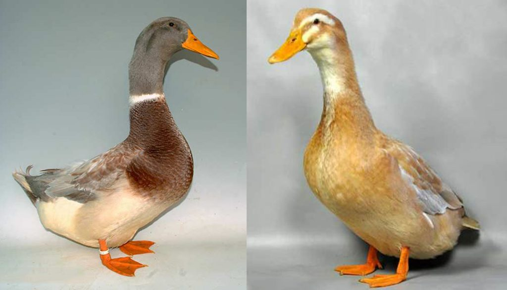 Saxony Duck Breed – Everything You Need to Know