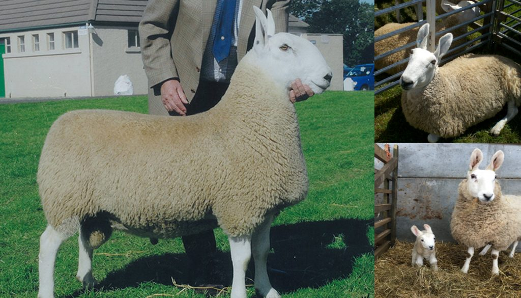 Border Leicester Sheep Breed – Everything You Need to Know