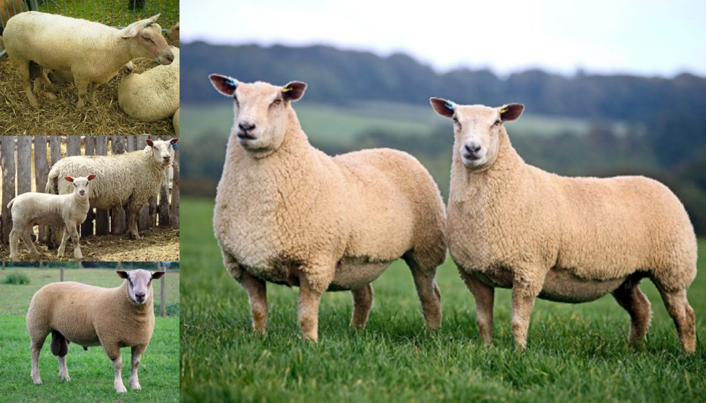 Charollais Sheep Breed Everything You Need To Know