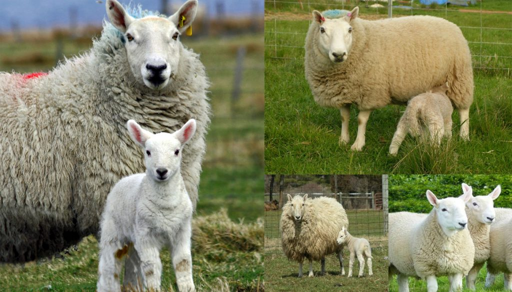 Cheviot Sheep Breed – Everything You Need to Know
