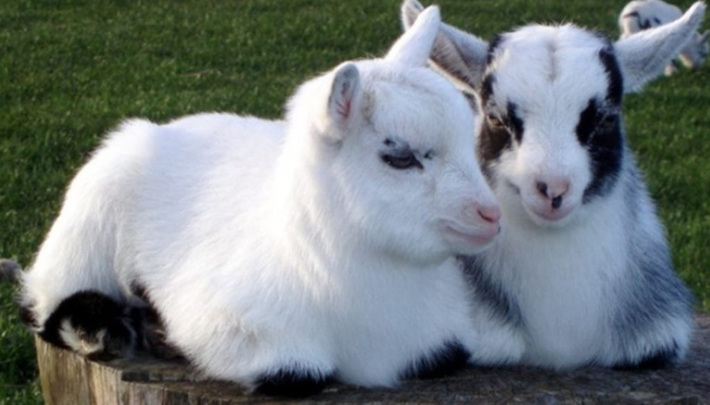 11 Best Smaller and Miniature Goat Breeds