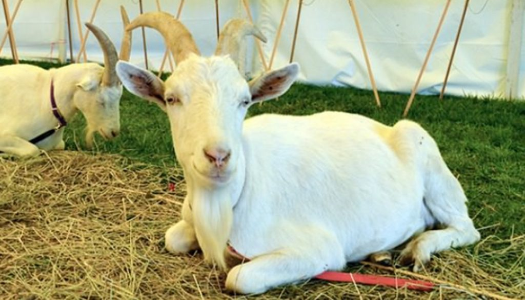 10 Most Popular Goat Breeds