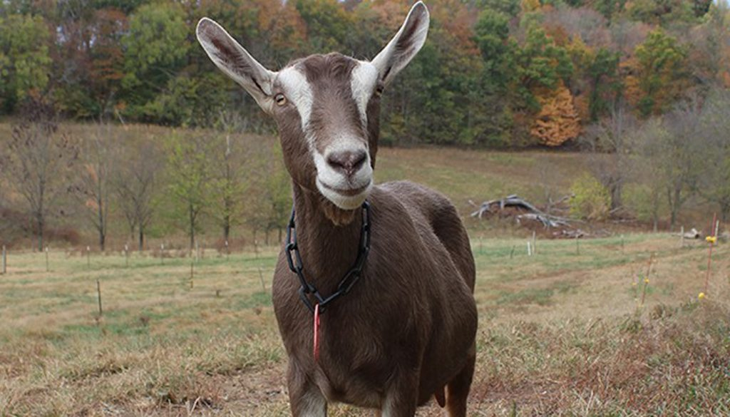 Toggenburg Goat Breed – Everything You Need to Know