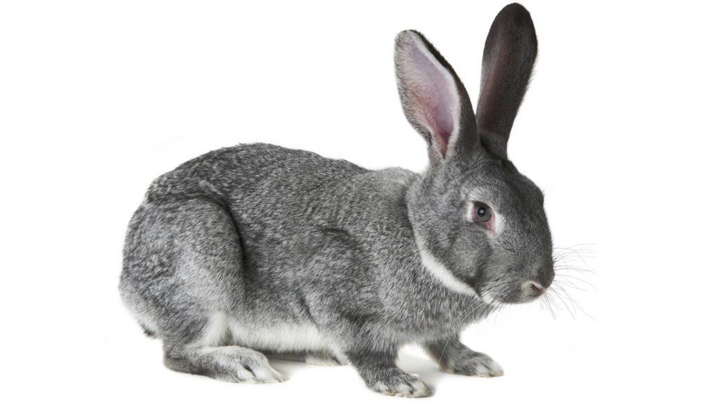 10 Best Meat Rabbit Breeds