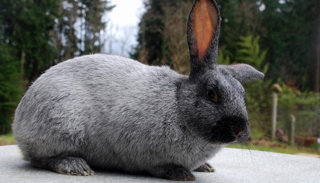 Champagne D'Argent Rabbit – Everything You Need to Know