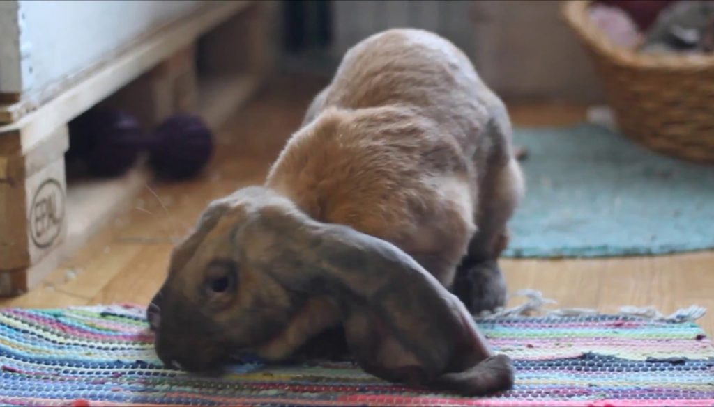English Lop Rabbit – Everything You Need to Know