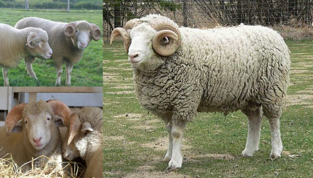 Dorset Horn Sheep Breed Everything You Need To Know