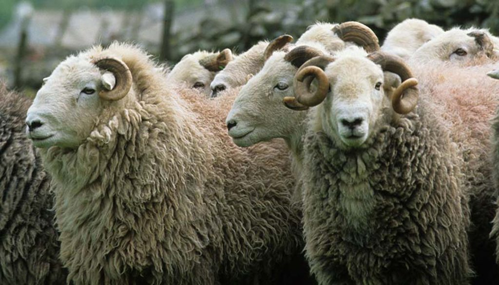 18 Best Wool Producing Sheep Breeds