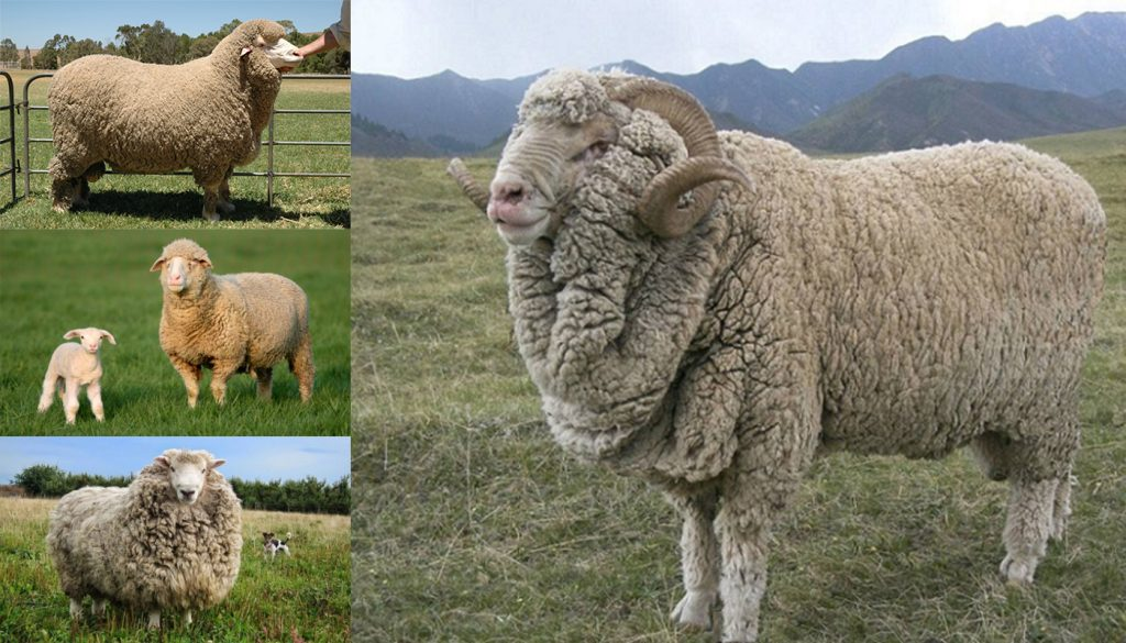 Merino Sheep Breed – Everything You Need to Know