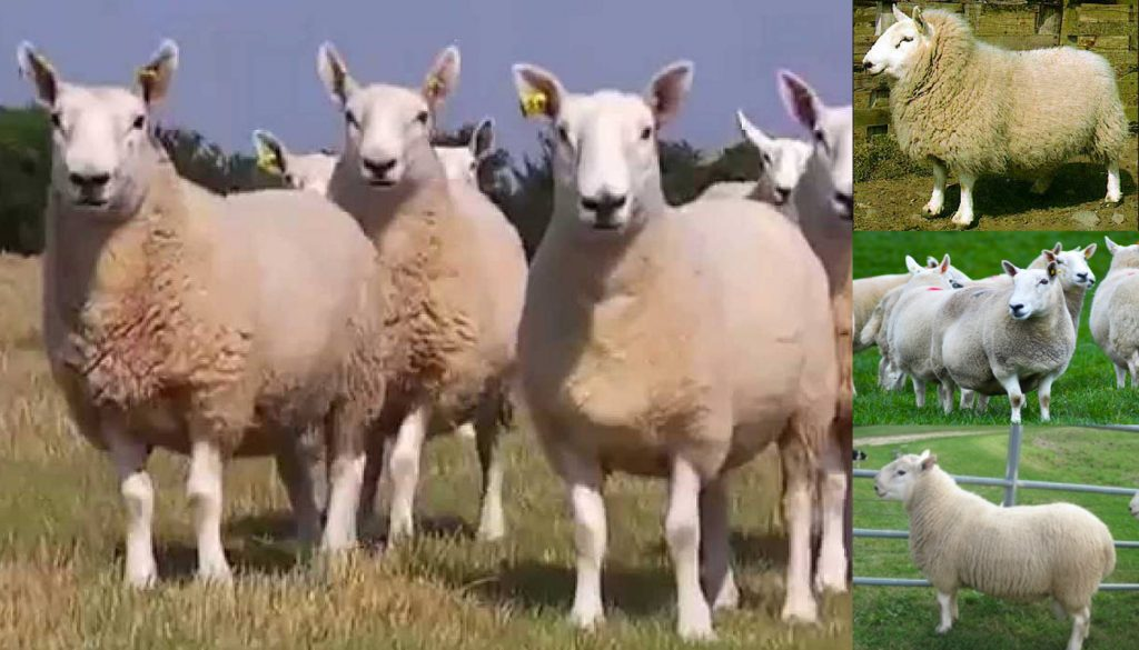 North Country Cheviot Sheep Breed – Everything You Need to Know
