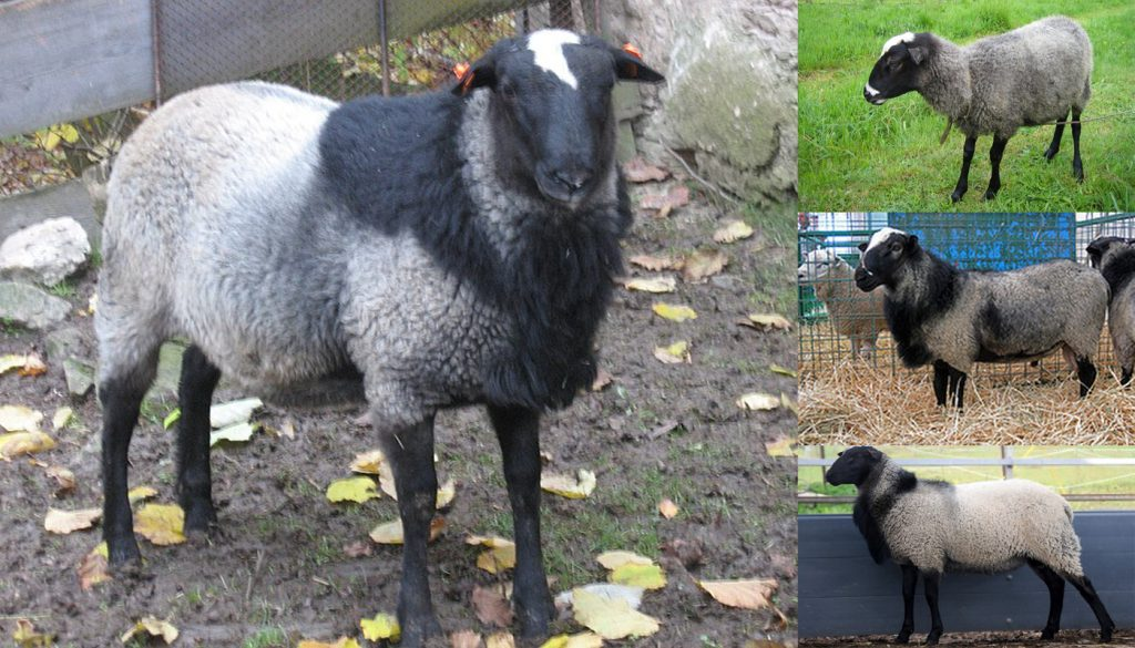 10 Hair Sheep Breeds