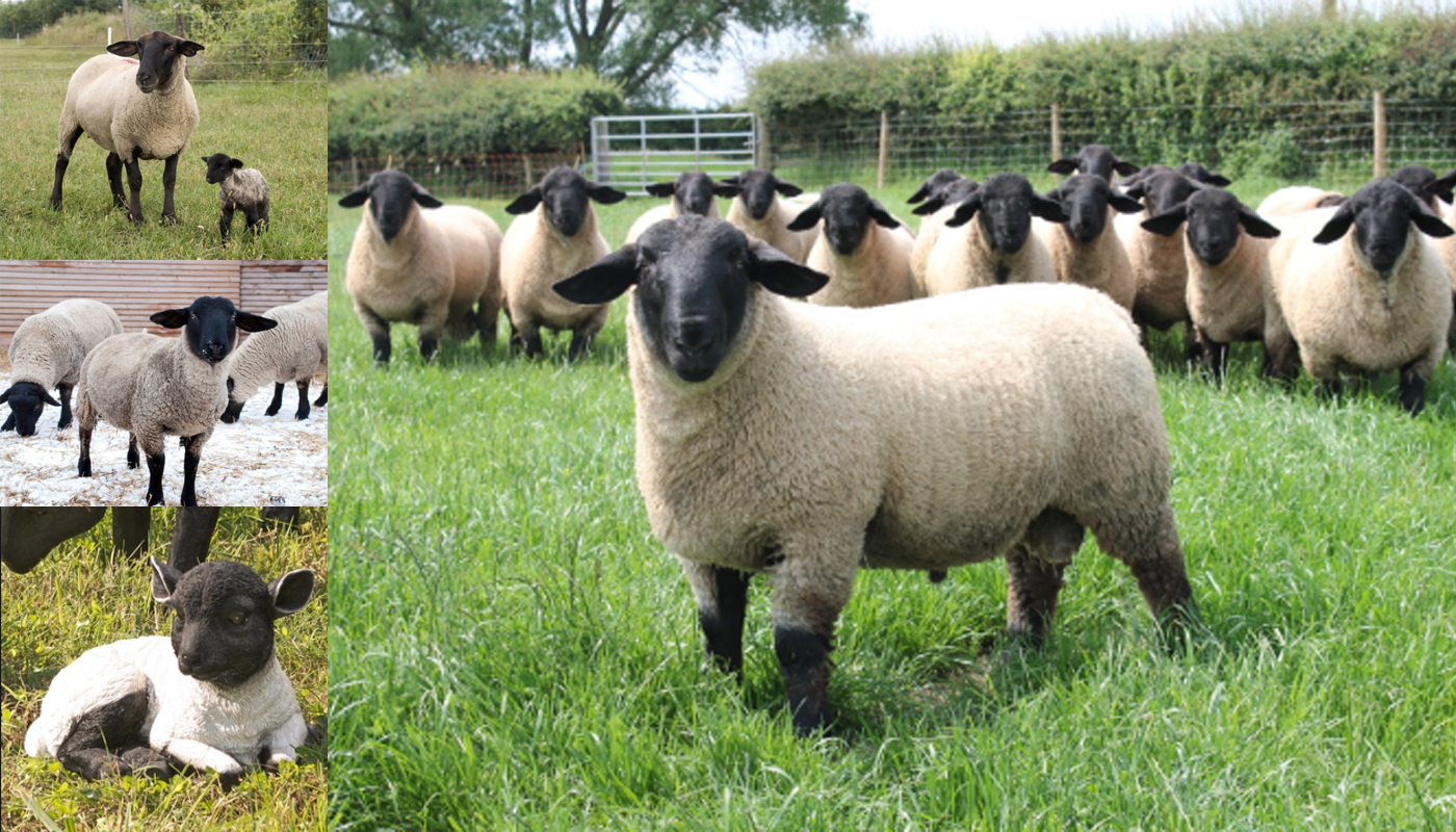 Shropshire Sheep Breed – Everything You Need to Know