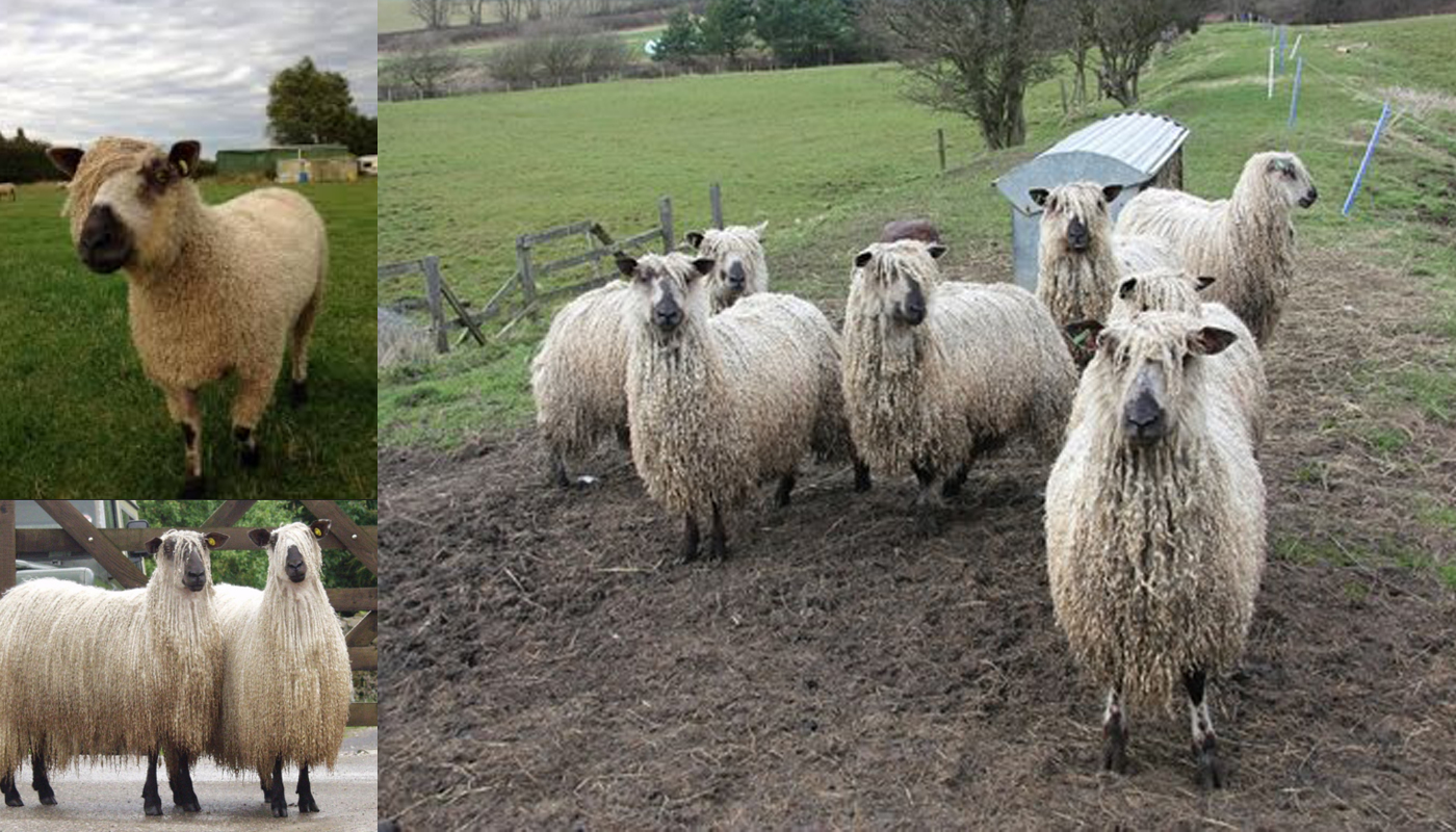 American Tunis Sheep Breed – Everything You Need to Know