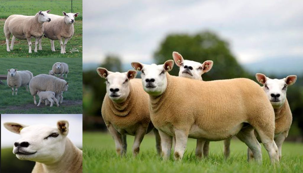 Texel Sheep Breed – Everything You Need to Know