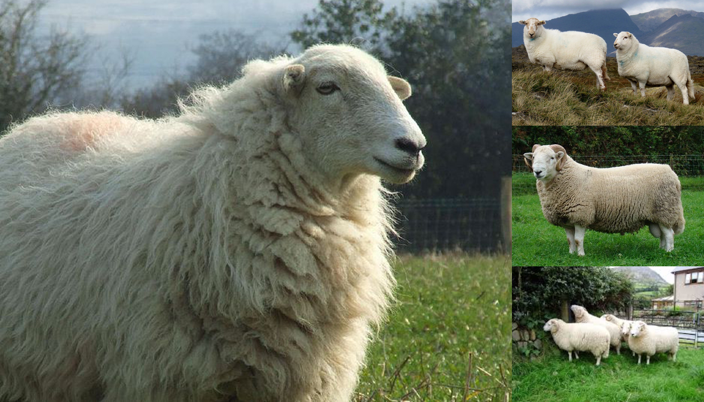 Suffolk Sheep Breed – Everything You Need to Know