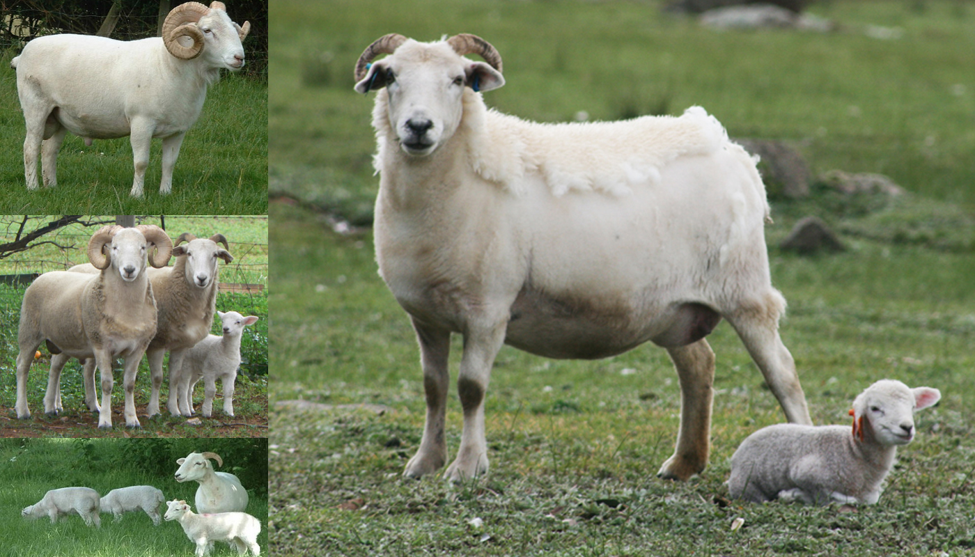 Romanov Sheep Breed – Everything You Need to Know