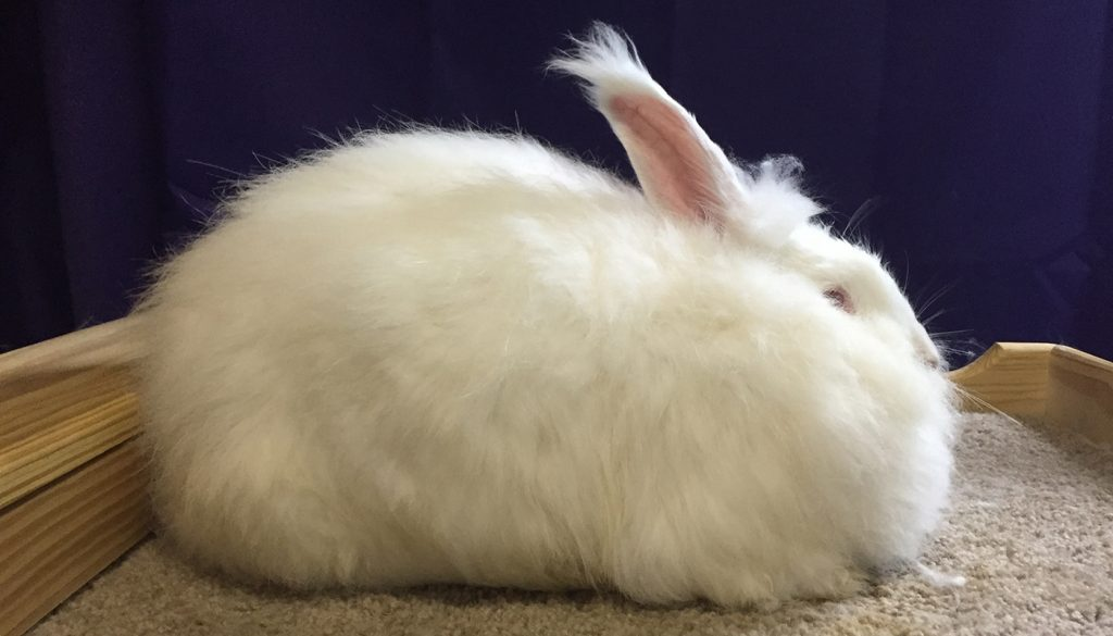 13 Giant Rabbit Breeds You Love To Know