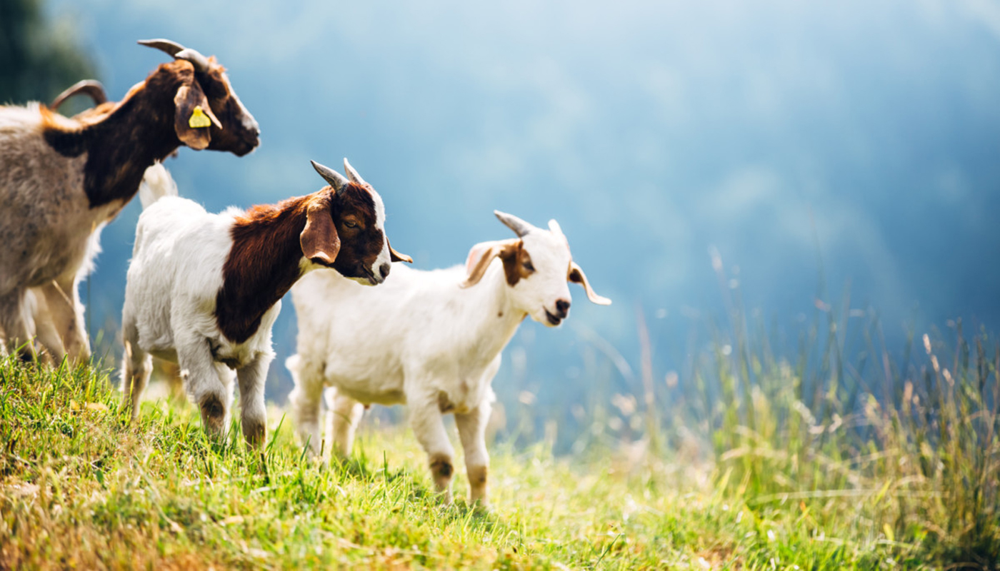 Kamori Goat Breed – Everything You Need to Know