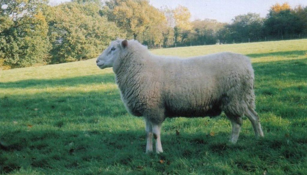 Top 20 Best Native British Sheep Breeds